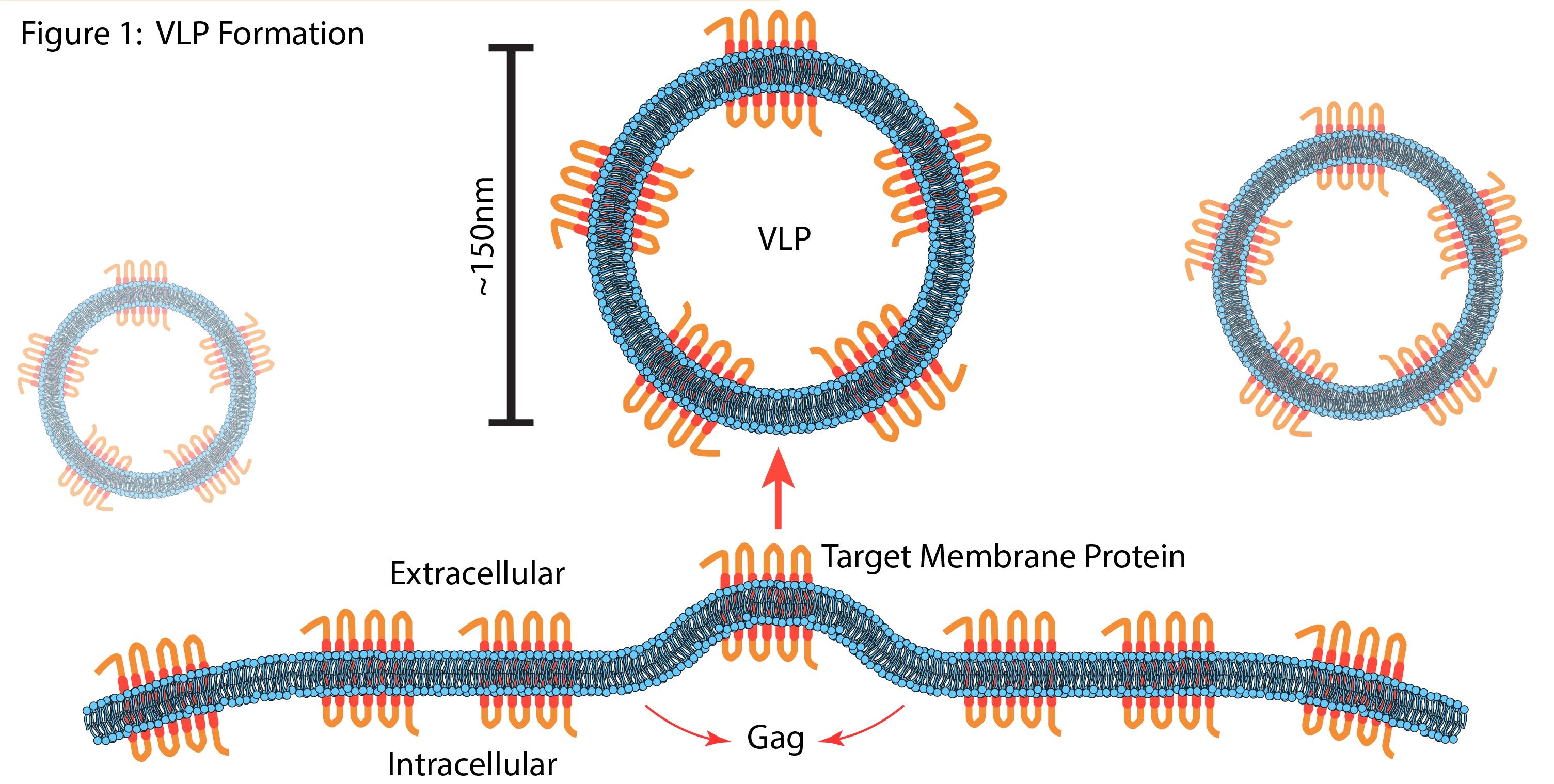 VLP Formation