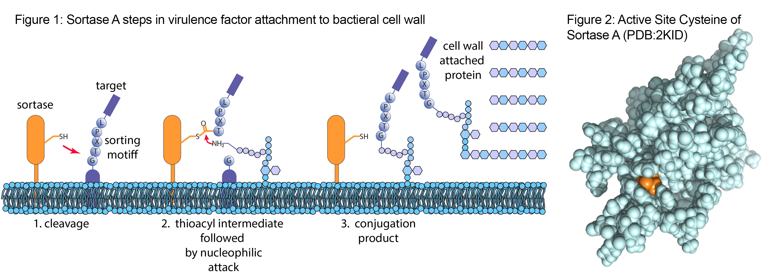 Sortase Bacteria