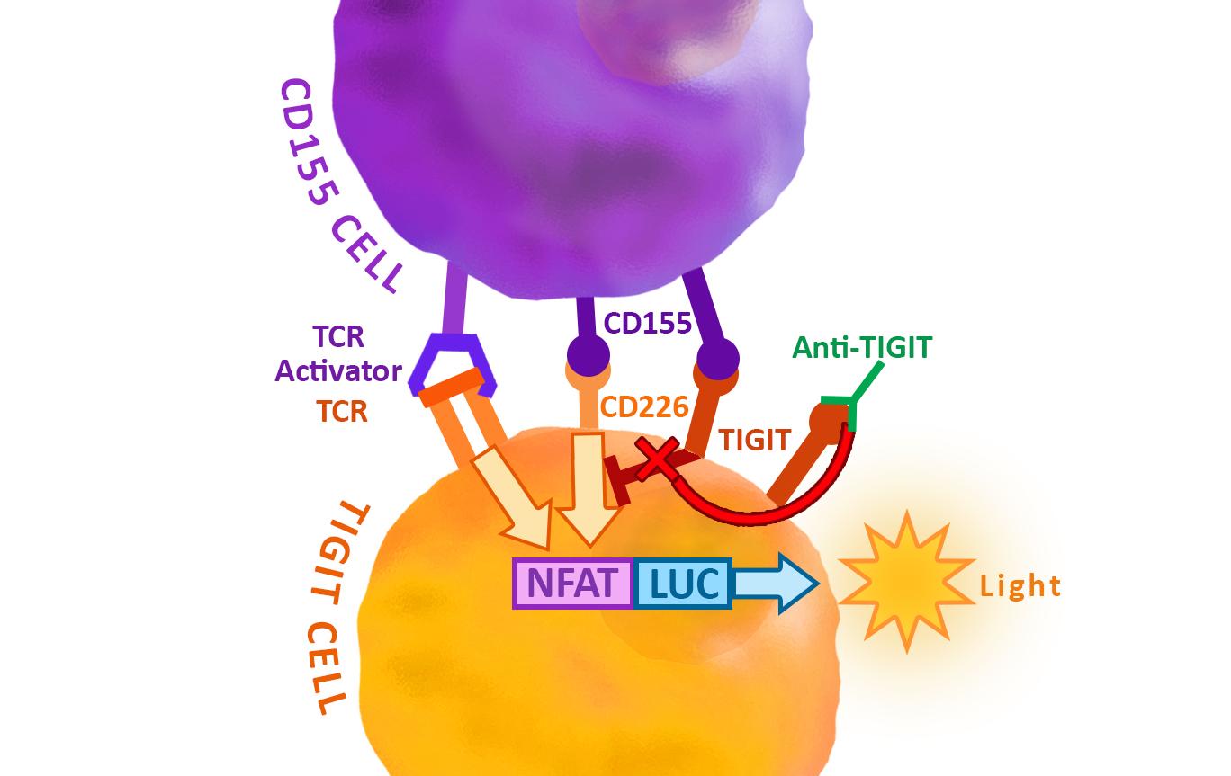 Anti Tigit Neutralizing Antibody