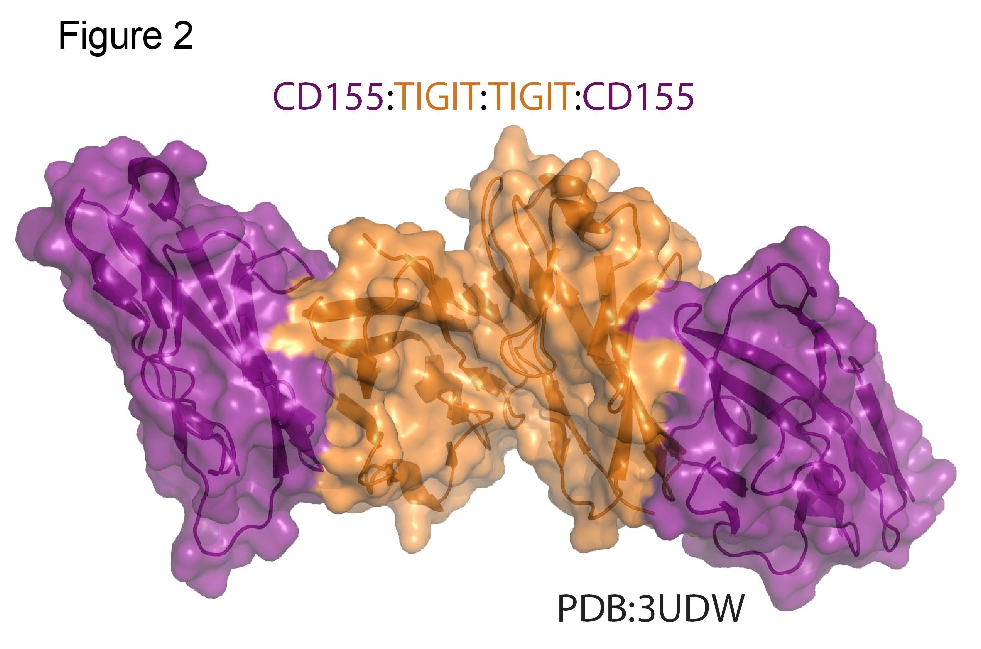 TIGIT CD155 Structure