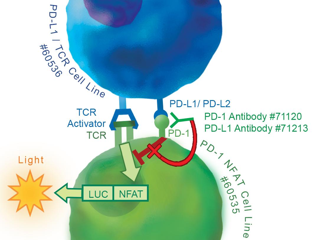PD-1 Jurkat Cell Line