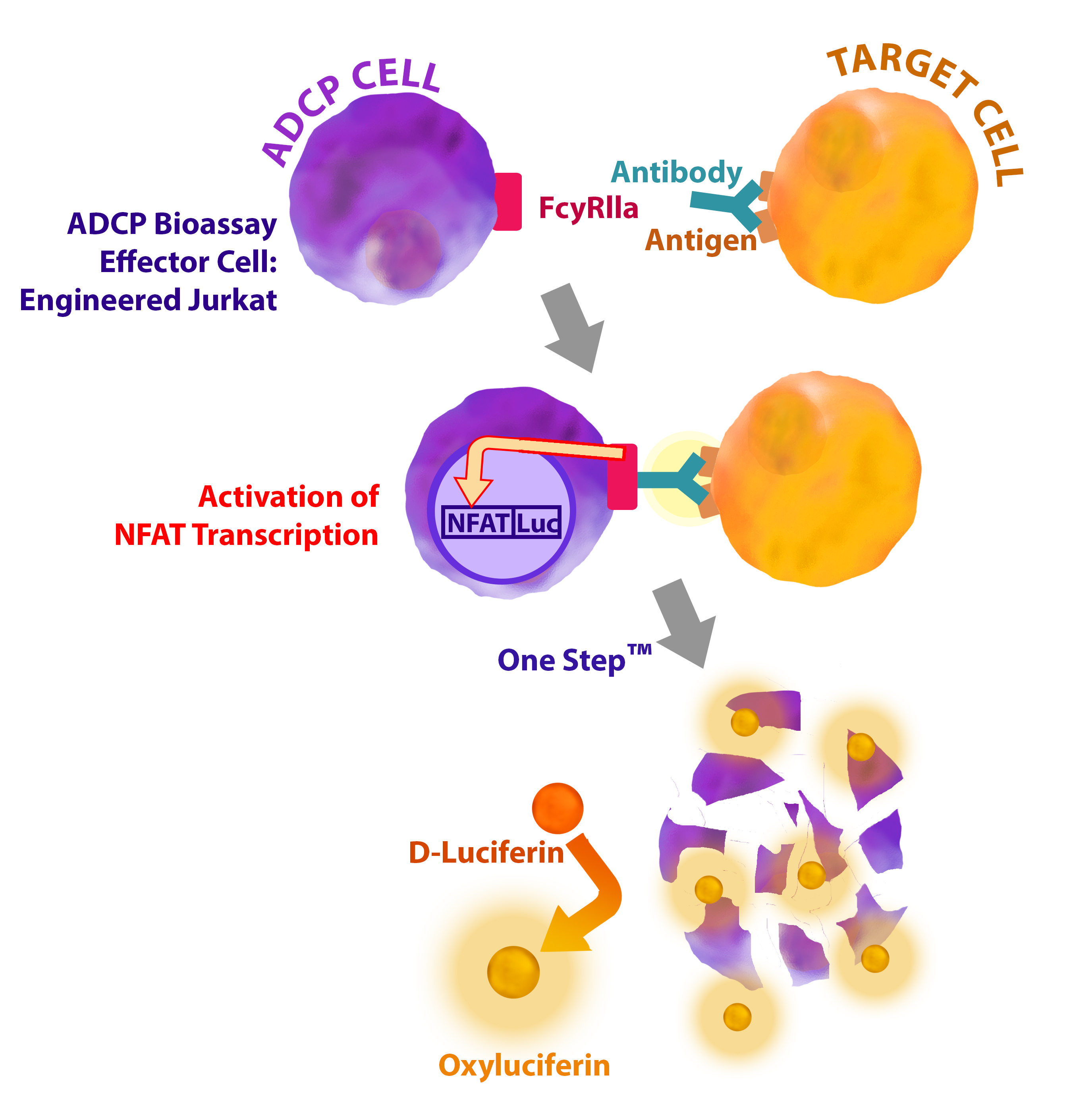 ADCP Bioassay Cell Line