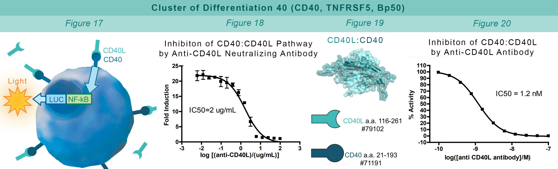 CD40 Pathway