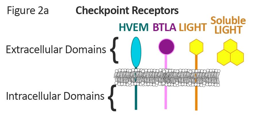 HVEM Checkpoint Receptors