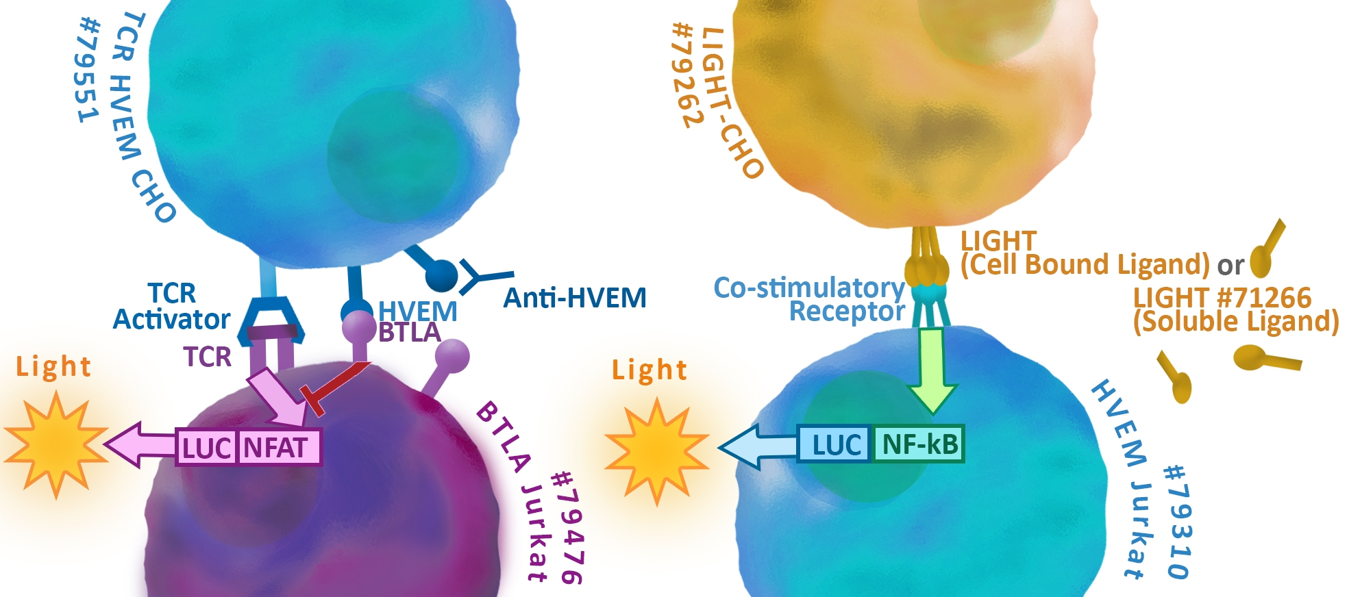 BTLA LIGHT HVEM Cell Line