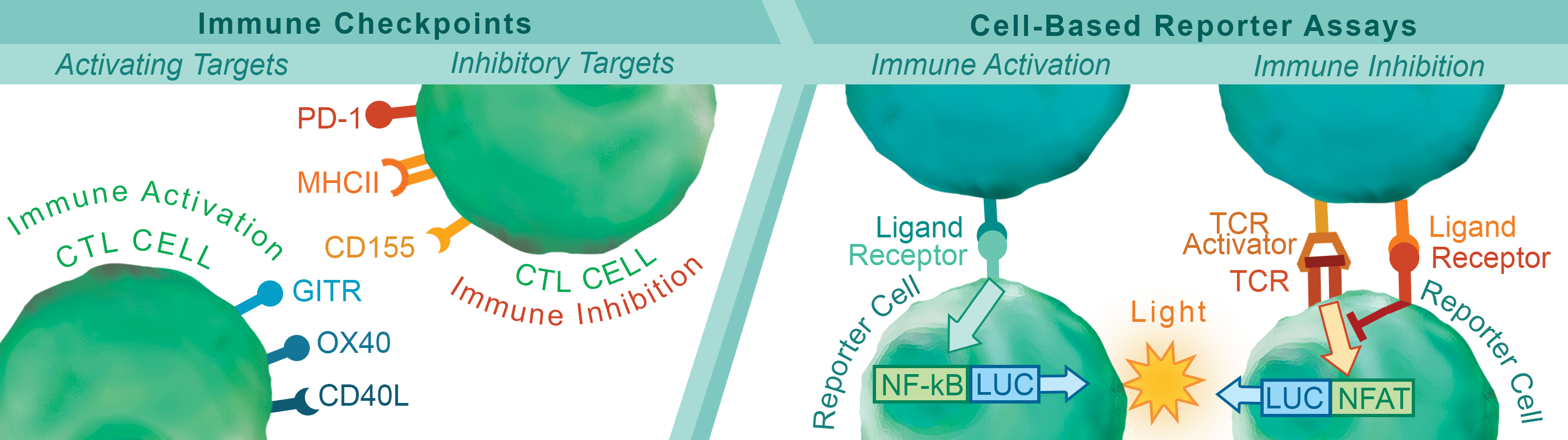 Immune Checkpoints