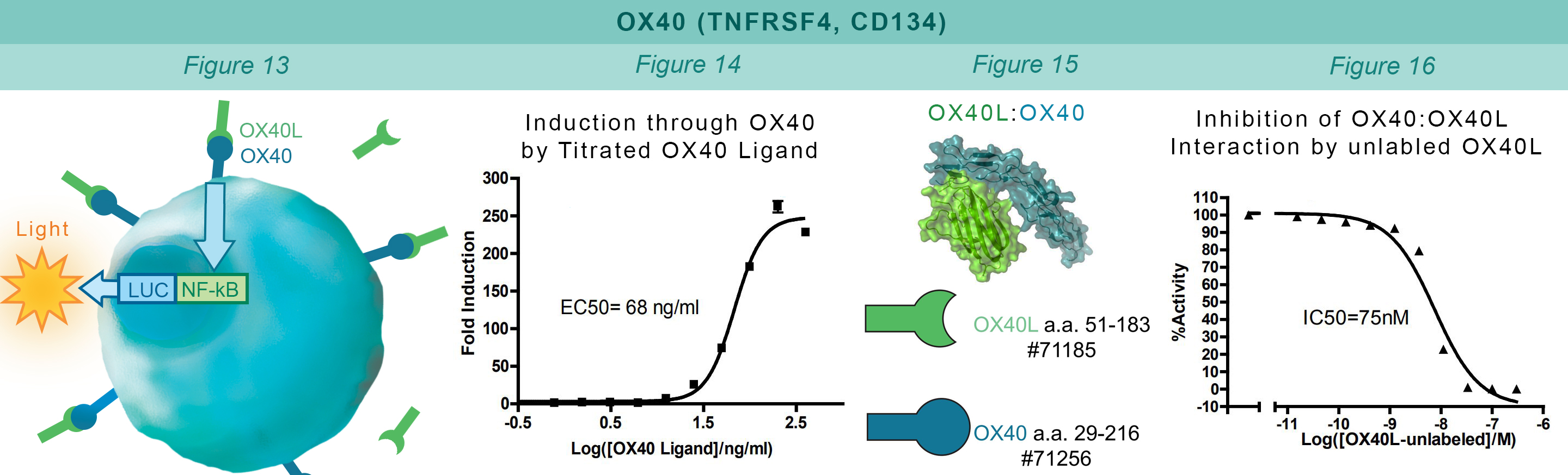 OX40 Cell Based Assay